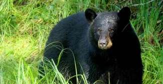 Bärenbeobachtungstour