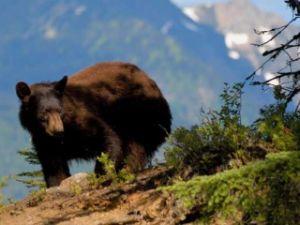 Bärenbeobachtung in Blue River