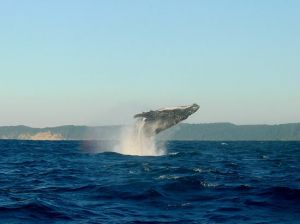 Walbeobachtung Maui