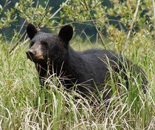 Während einer Bärenbeobachtungstour oder mit etwas Glück während der Autofahrt können Sie Bären in freier Natur beobachten.