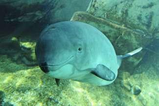 Der Schweinswal Jack - Vancouver Aquarium