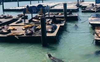 Besuchen Sie die Robben am Pier 39 in San Francisco.