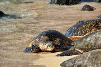 Auf Maui leben mehrere Meeresschildkrötenarten.