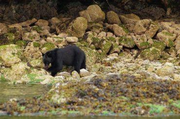 Tofino Bärenbeobachtung
