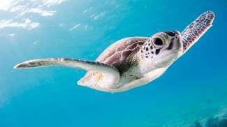 Auch Meeresschildkröten sind in der Karibik üblich.