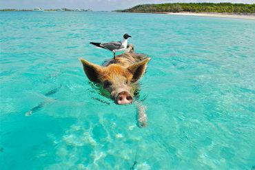 Pig Beach auf der Insel Major's Spot
