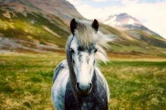 Die schönen Isländer wurden im 9. Jahrhundert von den Wikingern nach Island gebracht.