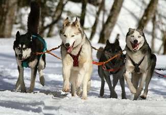 Hundeschlittenfahrt mit Snowy Owl Sled Dog Tours
